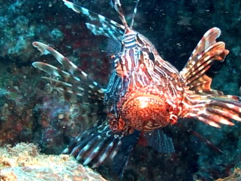 lion fish on reef - pälsteckning bildbanksvideor och videomaterial från bakom kulisserna