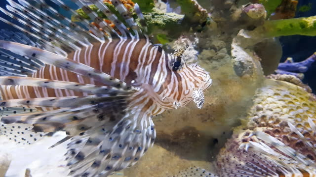 lion fish swimming in coral under sea water, Phuket ,Thailand