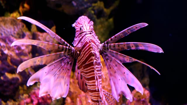 lion fish swimming under water - tropical fish stock videos & royalty-free footage