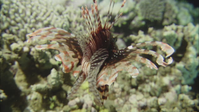 a lion fish swims over  a coral reef. - lionfish stock videos & royalty-free footage