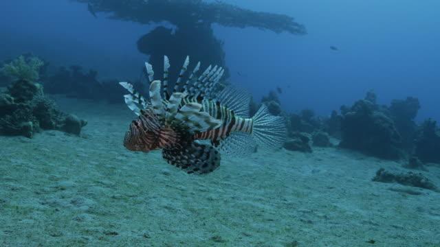 lion fish - drachenkopf stock-videos und b-roll-filmmaterial
