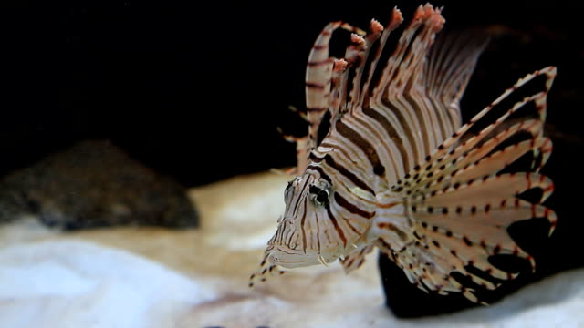 lion fish - lionfish stock videos & royalty-free footage