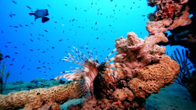 pesce leone - trovare video stock e b–roll