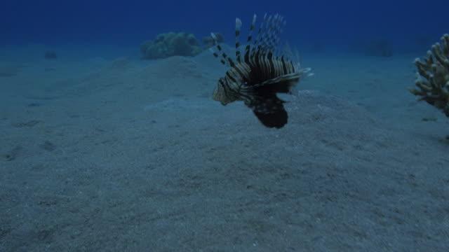 vídeos y material grabado en eventos de stock de lion fish - rascacio