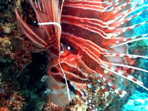 lion fish - tierfarbe stock-videos und b-roll-filmmaterial