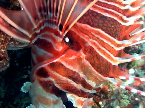 lion fish - animal colour stock videos & royalty-free footage