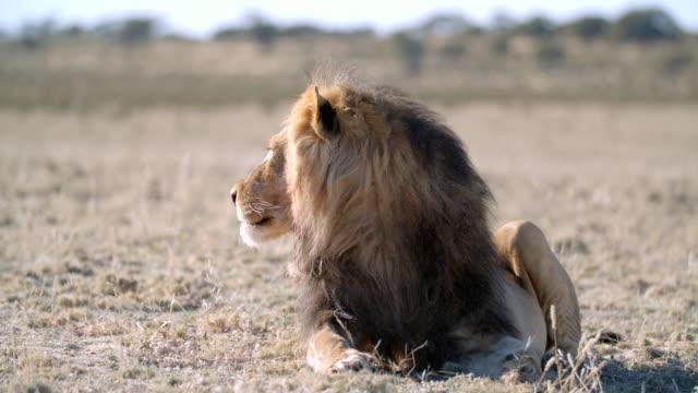 MS Lion (Panthera leo) getting up / Kgalagadi Transfrontier Park, Kgalagadi District, South Africa
