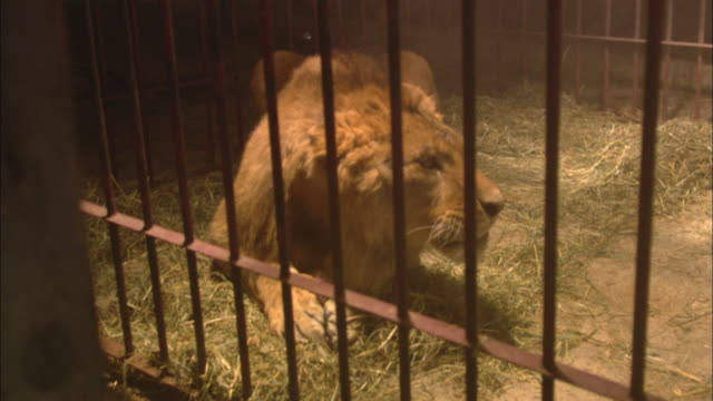 a lion gnaws on food thrown into its cage. - animals in captivity stock videos & royalty-free footage