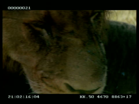 bcu lion grooming/licking paws, pull out to cu of grooming - pull out camera movement stock videos & royalty-free footage