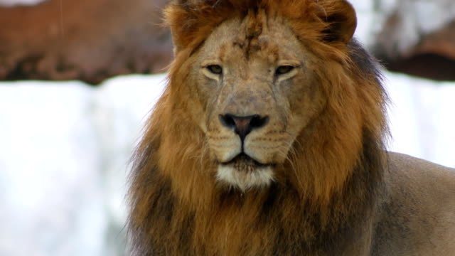 lion headshot close-up 4k - animal head stock videos & royalty-free footage