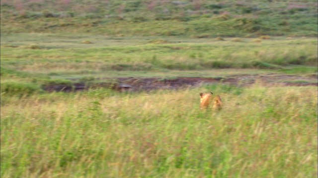 Lion hunting Wildebeest in Savannah