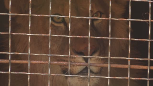 vídeos de stock e filmes b-roll de lion in a cage is seen during sent of five young lions to ubuntu wildlife sanctuary in the republic of south africa, in the cargo terminal at the... - jaula