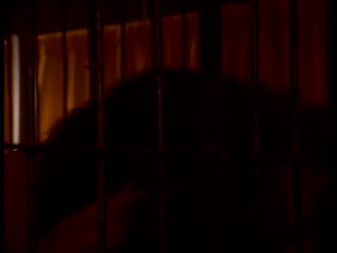 a lion in a cage jumps on a box and snarls at a man on the other side of the cage. - cage stock videos & royalty-free footage