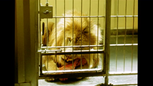/ lion in cage at zoo / keeper uses rod to put piece of raw meat in with lion / lion enjoys his meal Caged Lion eating raw meat at San Francisco Zoo...