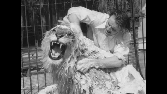 Lion in ceramic white bathtub soaped up and being washed by trainer Melvin Koontz / lion gets upset snapping head around and roaring / trainer starts...