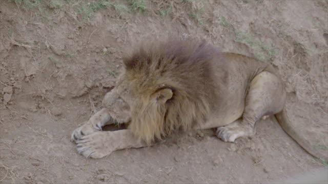 Lion in Lake Nakuru, Kenya