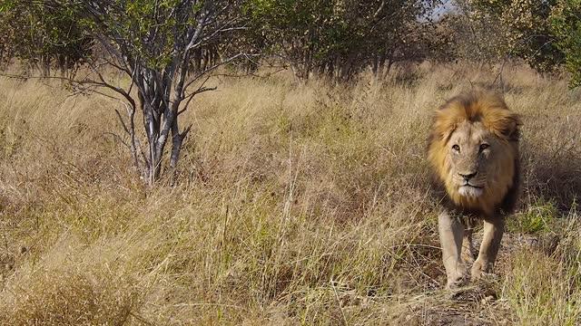 vidéos et rushes de lion in the savannah, chobe national park, botswana - lion