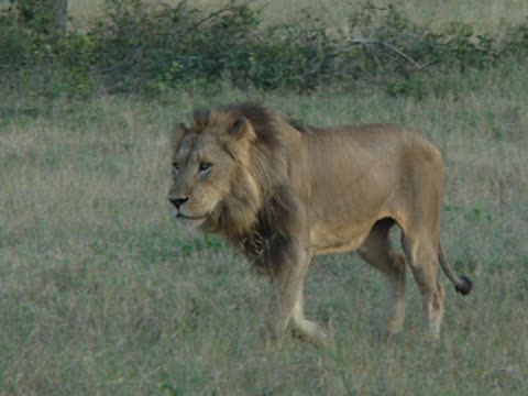 a lion (panthera leo) in wilderness safari, south africa. a mid-shot showing the beast side on. it walks slowly to begin with, then breaks into a slow run. - male animal stock videos & royalty-free footage