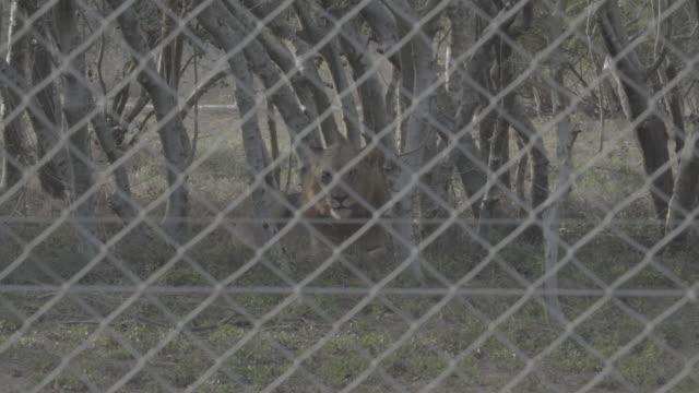 vidéos et rushes de lion in wildlife refuge / southern africa, africa - république d'afrique du sud