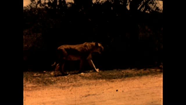 vidéos et rushes de lion is on the move in kruger national park in the 1960's. - safari