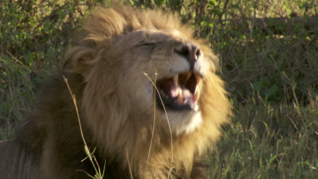 MS ZI Lion laying on grass and yawning / Tanzania