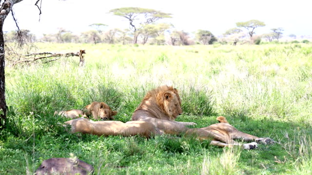 Lion Licking