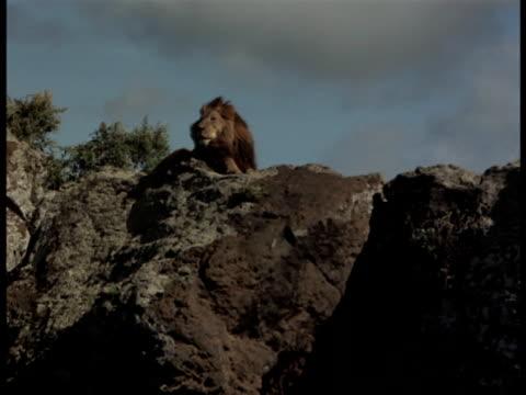 A  lion lies atop a cliff.