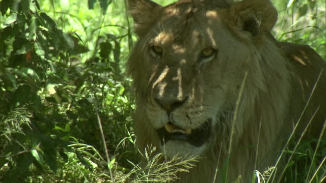 a lion lies quietly in the shade in africa. - shade stock videos & royalty-free footage