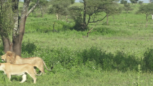 lion & lioness lying down, walking - wiese stock videos & royalty-free footage