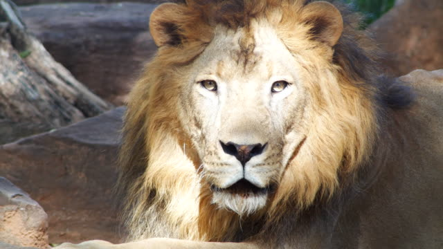 lion looking at camera - majestic stock videos & royalty-free footage