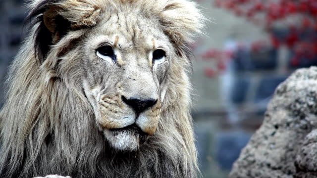 a lion looks around. - tier in gefangenschaft stock-videos und b-roll-filmmaterial