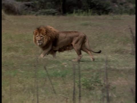 A lion looks for prey in an open grassy field.