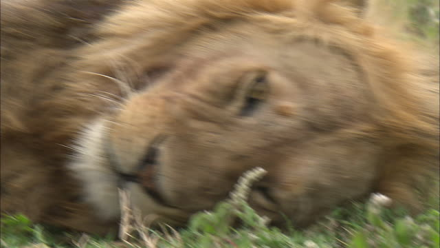 a lion lying down on the grass at serengeti national park, tanzania - male animal stock videos & royalty-free footage