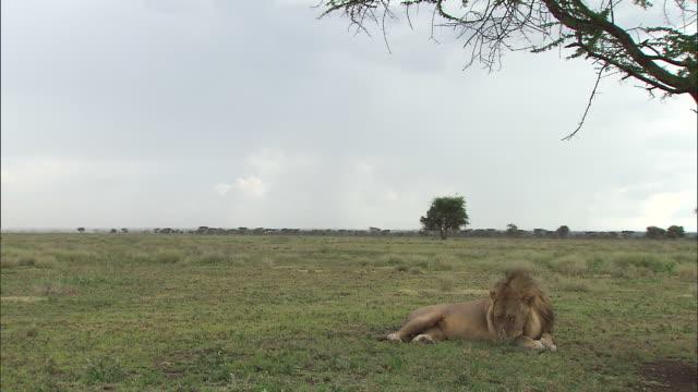 a lion lying down on the grass at serengeti national park, tanzania - サファリ動物点の映像素材/bロール