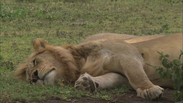 a lion lying down on the grass at serengeti national park, tanzania - tierische nase stock-videos und b-roll-filmmaterial
