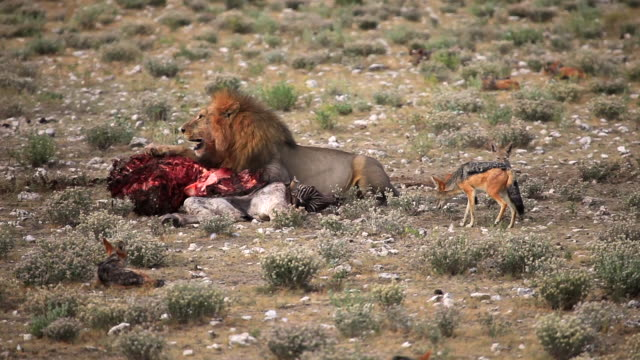 lion lying with bloody zebra carcass - violence stock videos & royalty-free footage