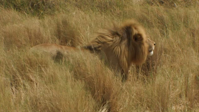 lion (panthera leo) male stands in wind amongst long grass, serengeti, tanzania - 擬態点の映像素材/bロール