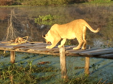 lion on jetty - lion cub stock videos & royalty-free footage
