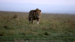 Lion on the grasslands