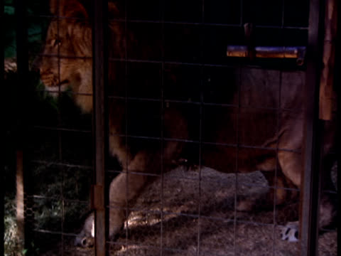 a lion paces in a small cage as two chimps play outside. - cage stock videos & royalty-free footage