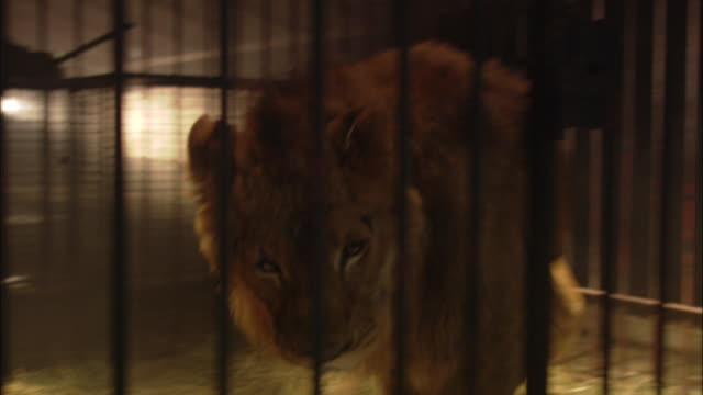 A lion paces in its cage, then lunges towards the bars.