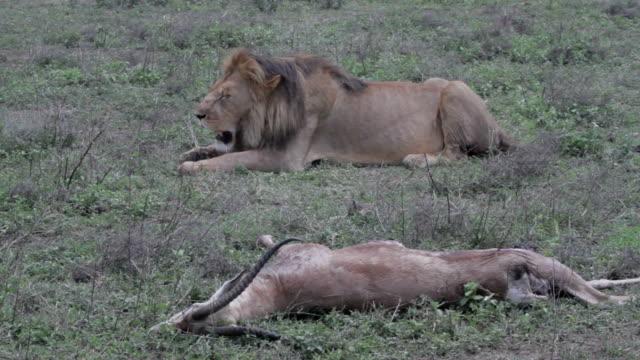 lion panting behind antelope carcass - antelope stock videos & royalty-free footage