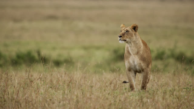 lion (panthera leo) peers alertly on savannah, kenya - tiere bei der jagd stock-videos und b-roll-filmmaterial