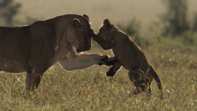 Lion (Panthera leo) plays with cub on savannah, Kenya