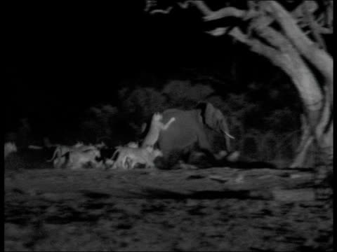 lion pride chases elephant at night, botswana - großwild stock-videos und b-roll-filmmaterial