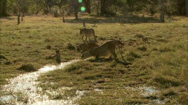 vídeos y material grabado en eventos de stock de lion pride drinking water in the wetland of okavango delta - delta de okavango