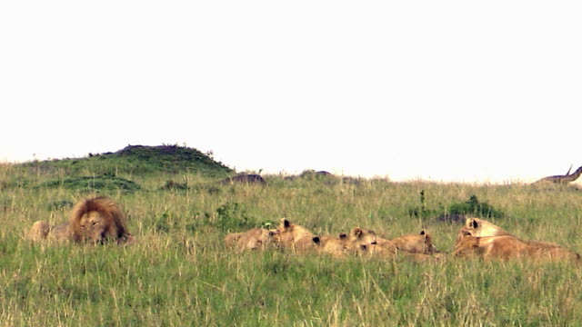 Lion pride eating prey, Masai Mara, Kenya