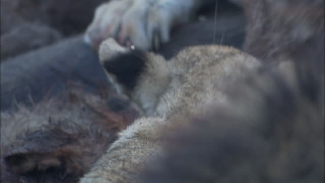 lion pride feed on elephant kill, botswana - klaue stock-videos und b-roll-filmmaterial