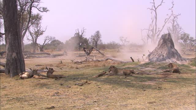 vídeos y material grabado en eventos de stock de lion pride gathered in the grassland of okavango delta - delta de okavango