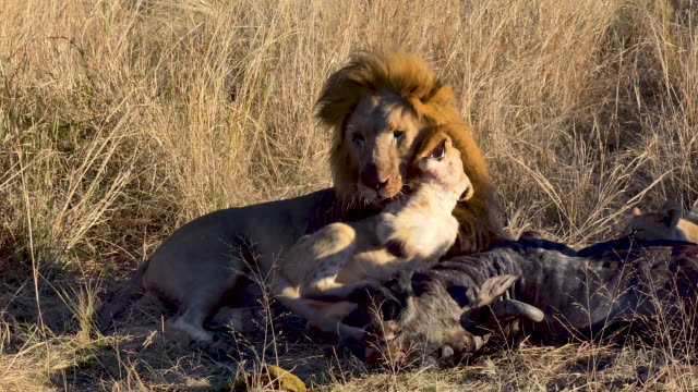 Lion pride happily eating their kill, cub plays with father lion over the bloody carcass of a wildebeest as his mother feasts with other cub lion